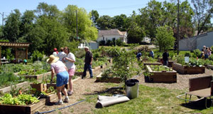 gardeners at work in community garden plots